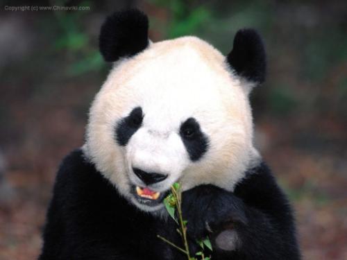 panda11_55
